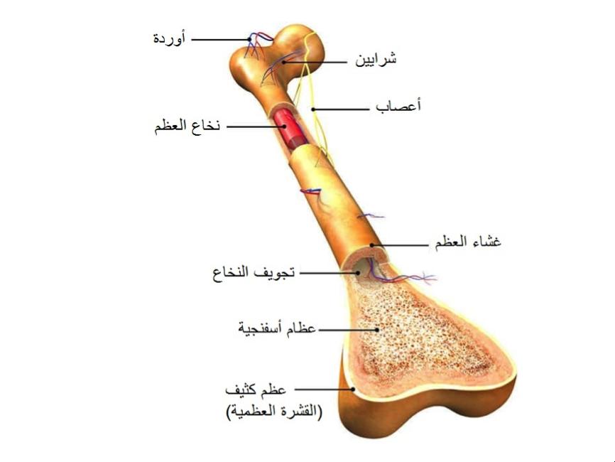 نخاع العظم زراعة نخاع العظم زرع نقى عظم